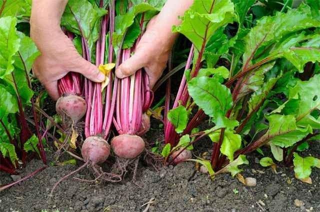 طريقة زراعة الشمندر .. تعرف علي كيفية زراعة البنجر في المنزل عن طريق البذور