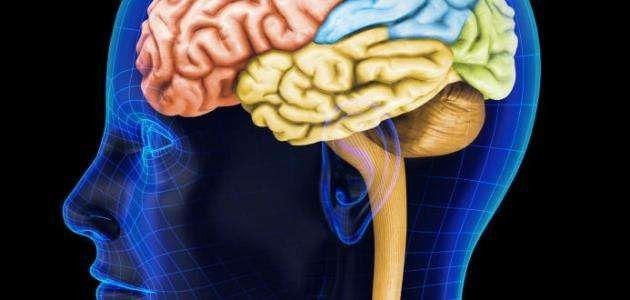 أين يقع المخ في رأس الإنسان