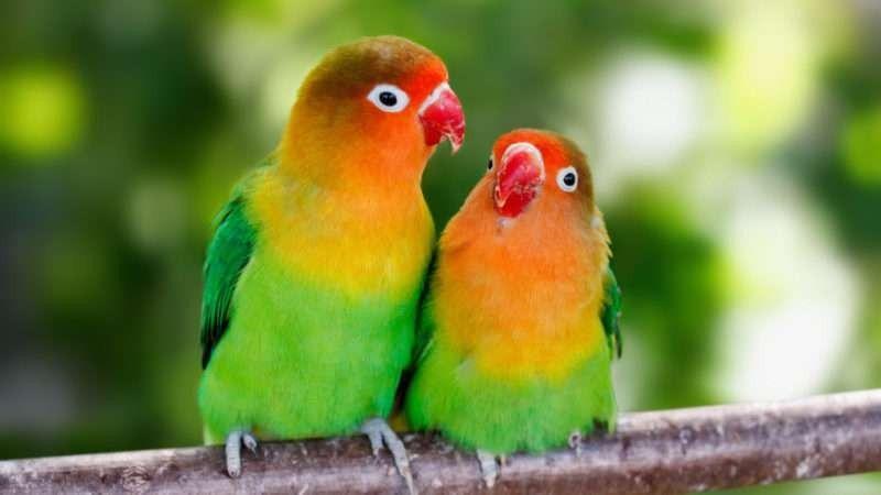 موسم تزاوج طيور الحب  –