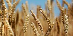 جلوتين القمح| جلوتين القمح وخطره علي الصحة