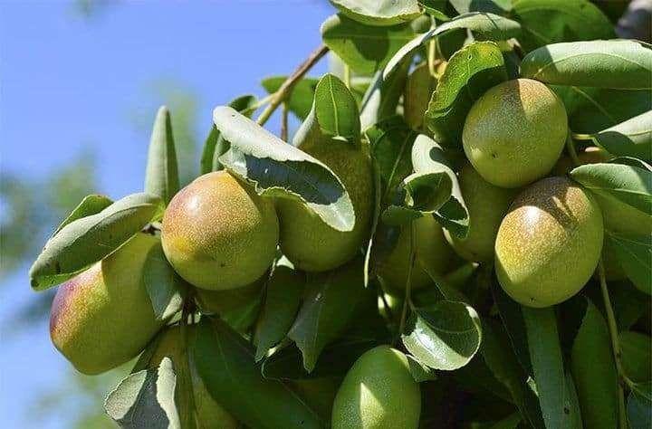 شجرة الهوهوبا – معلومات هامة عن نبات الجوجوبا الشهير واستخداماته