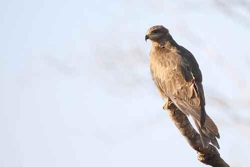 معلومات عن طائر الحدأة ..بعض المعلومات المذهلة عن الحدأة و سلوكه و هجرته
