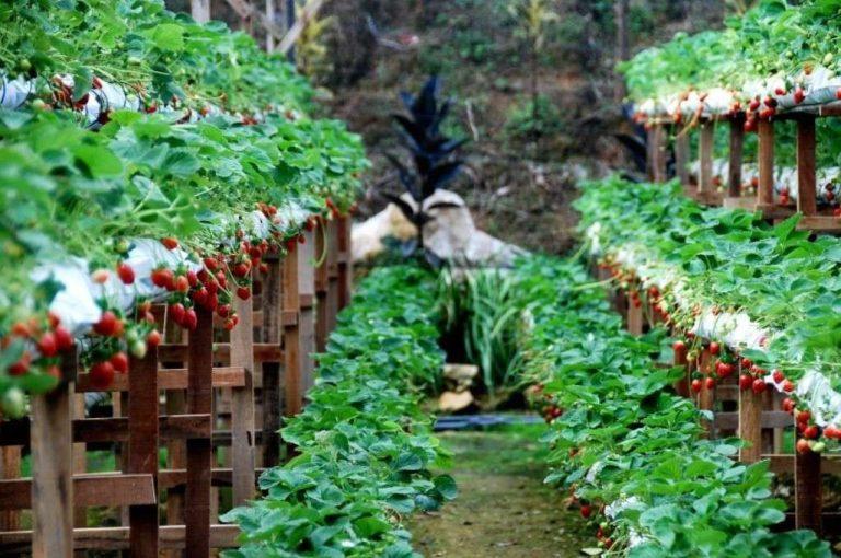 حديقة الفراولة في كوالالمبور .. تعرف على معلومات عن حديقة الفراولة في كوالالمبور ماليزيا