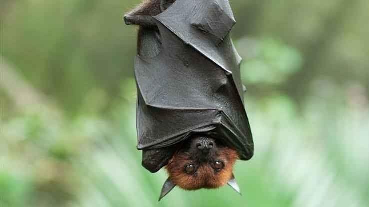 حقائق عن الخفاش .. حقائق ومعلومات عن الخفاش مصاص الدماء