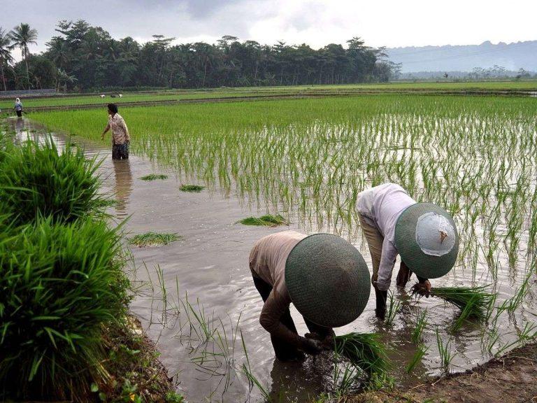 الحياة الريفية في إندونيسيا .. تعرف على أبرز ملامح تميز الحياة في ريف إندونيسيا