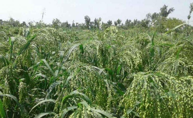 طريقة زراعة الدخن .. تعرف على طريقة زراعة الدخن وطرق رعاية المحصول –