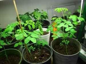 زراعة المورينجا