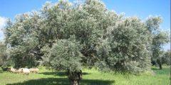 أحاديث عن شجرة الزيتون