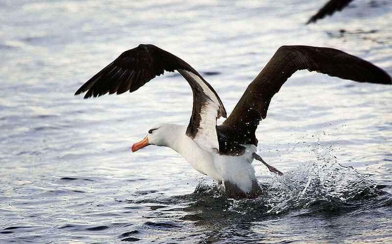 معلومات عن طائر القطرس .. إليك ماتود معرفته عن طائر الباتروس وأنواعه المختلفة