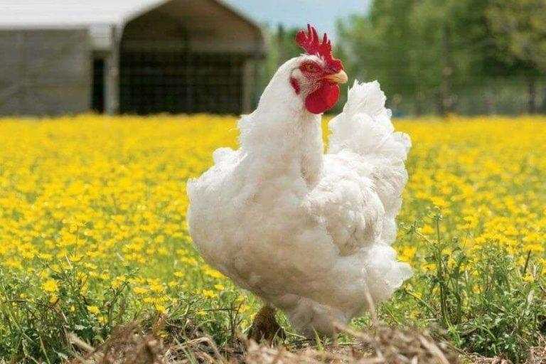 طريقة تربية الدجاج البيضاء في الشتاء … ونصائح هامة لتغذيتهم وتدفئتهم –