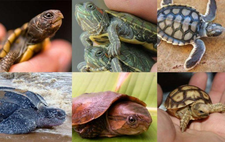 طريقة تربية السلاحف الصغيرة.. تعرف على كيفية تربية السلاحف الصغيرة البرية منها والمائية