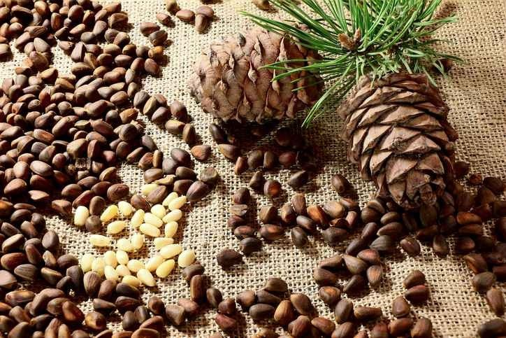 طريقة زراعة الصنوبر .. حقائق عن زراعة نبات الصنوبر تعرفها لأول مرة –