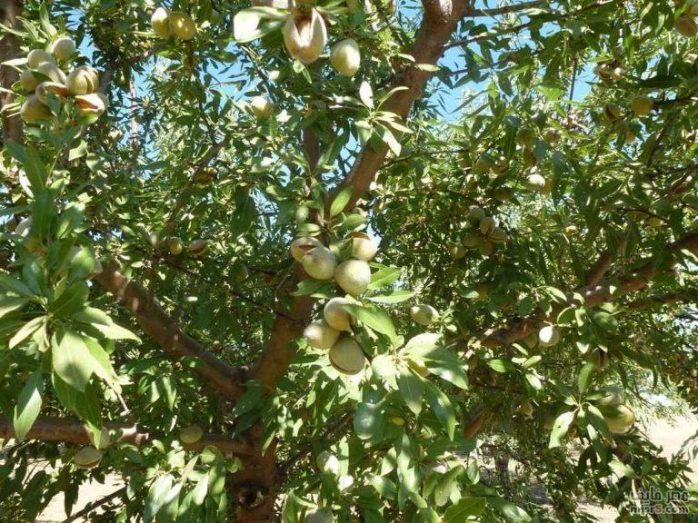 طريقة زراعة اللوز .. والشروط الواجب توافرها و الامراض التي تصيب شجرة اللوز