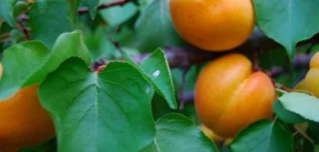 طريقة زراعة المشمش.. تعرف على أفضل الطرق لزراعة المشمش للحصول على أفضل النتائج