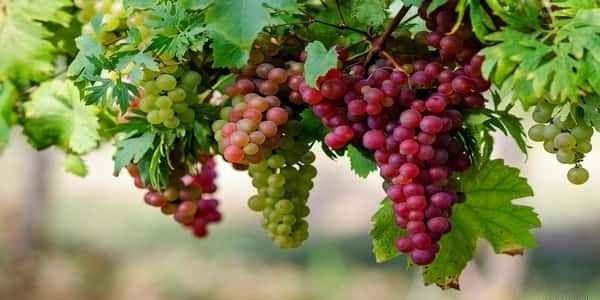 فوائد العنب – تعرف على فوائد العنب بأنواعه المختلفة لجسم صحي وسليم