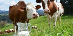فوائد حليب البقر للقولون
