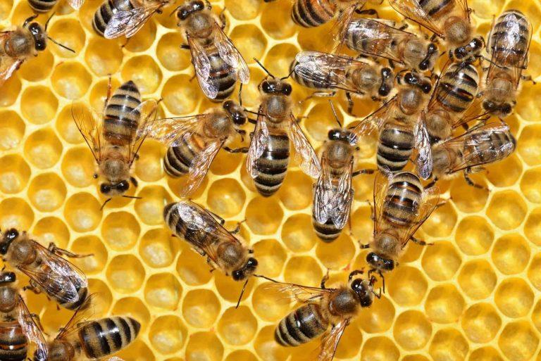 رويال جيلي – فوائد صحية مدهشة لغذاء ملكات النحل
