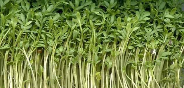 طريقة زراعة الرشاد .. تعرف علي طريقة زراعة نبات حب الرشاد في منزلك| بحر المعرفة
