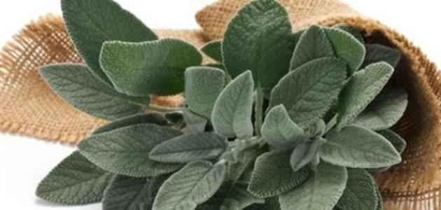 طريقة زراعة الميرمية .. العشبة الرائعة مع الشاي