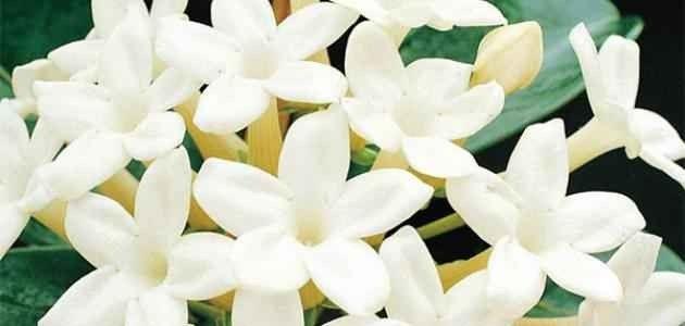 معلومات عن زهرة الفل …. تعرف علي زهرة الفل وطرق زراعتها وكيفية تكاثرها l  بحر المعرفة