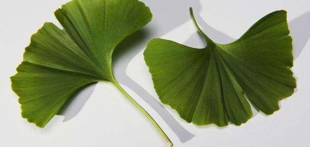 معلومات عن نبتة الجنكة .. تعرف على نبتة الجنكة …………………….
