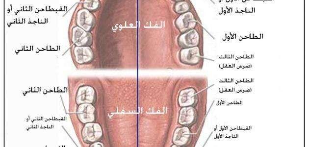 كم عدد الأسنان اللبنية ..