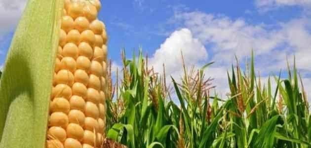 طريقة زراعة الذرة .. تعرف على طريقة زراعة الذرة البيضاء والصفراء والحصول على محصول وفير