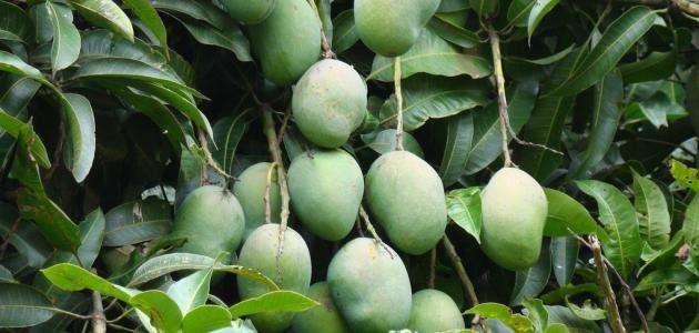 معلومات عن شجرة المانجو