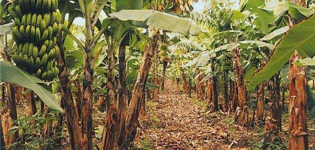 معلومات عن شجرة الموز