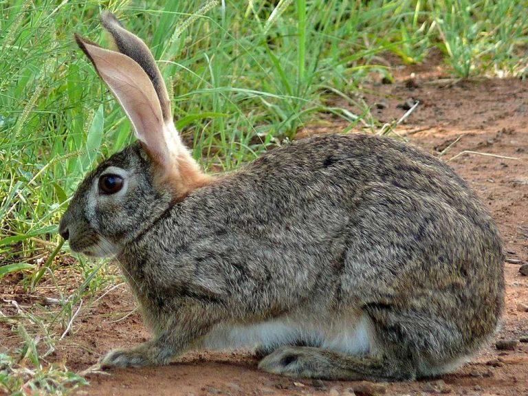 معلومات عن الأرنب البري