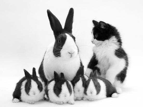 الأرنب الهولندي