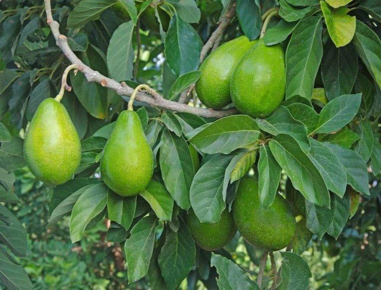 معلومات عن شجرة الأفوكادو