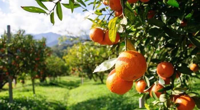 معلومات عن شجرة البرتقال… وبعض الحقائق التي سنتعرف عليها بخصوص تلك الشجرة –