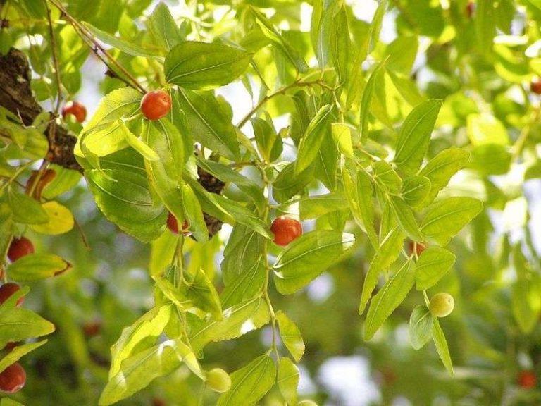 شجرة السدر