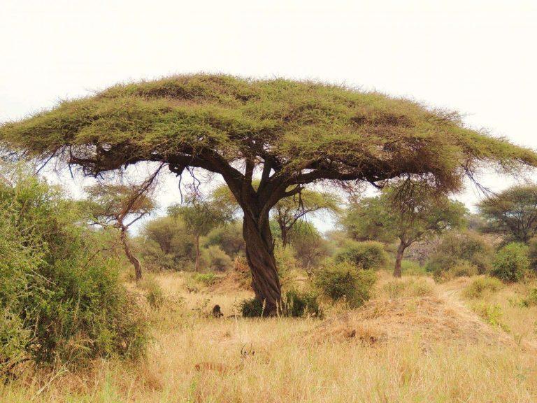 شجرة السمر – إليك بعض المعلومات والحقائق عن أشجار السدر
