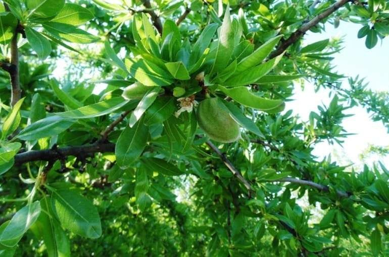 معلومات عن شجرة اللوز