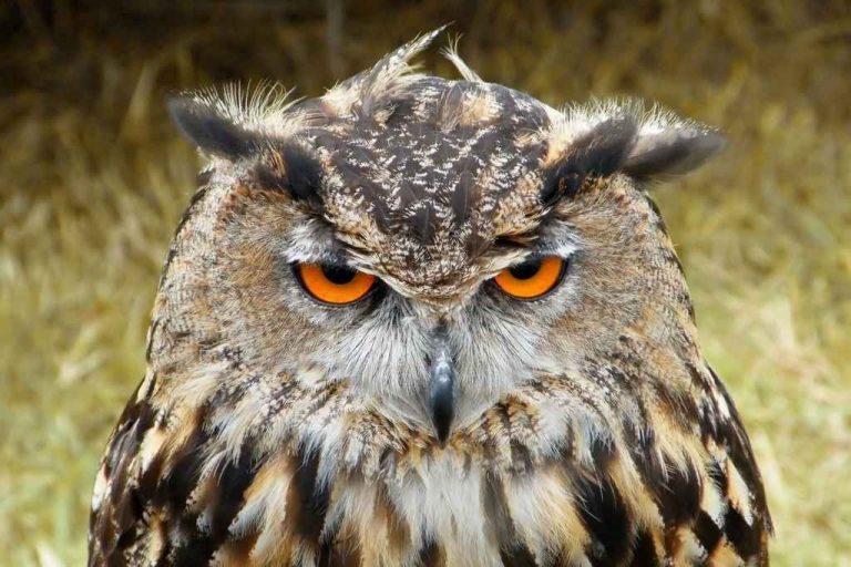 معلومات عن طائر البومه .. حقائق مذهلة لم تعرفها من قبل عن البومه وأنواعها المختلفة