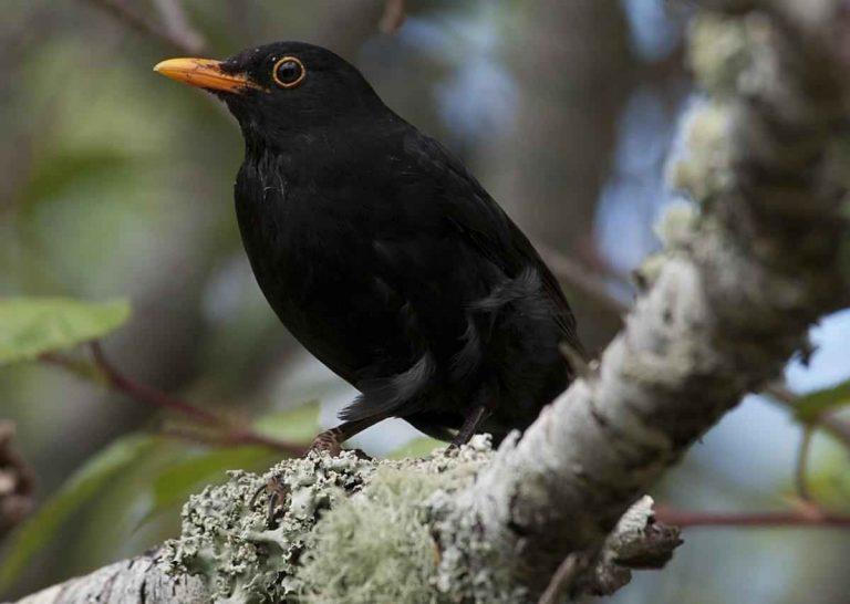 معلومات عن طائر الشحرور … حقائق لم تعرفها من قبل عن طائر الشحرور وتكاثره