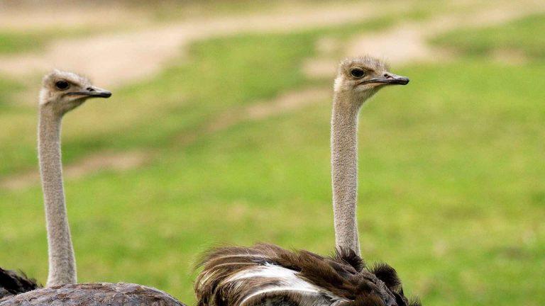 معلومات عن طائر النعام.. تكاثرها وأنواعها المختلفة ونظامها الغذائى وأحجامها