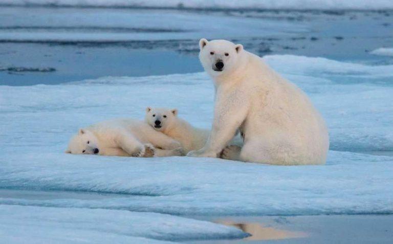 معلومات للأطفال عن الدب القطبي…. تعرف أكثر على الدب القطبي –