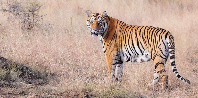 معلومات للأطفال عن النمر … تعرف على معلومات مهمة عن النمور /  بحر المعرفة