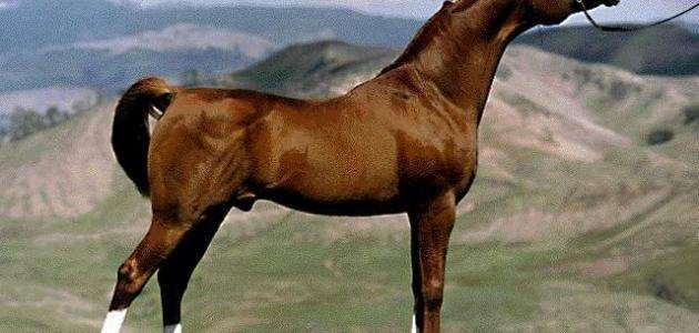 معلومات للاطفال عن الحصان .. أفضل المعلومات عن الحصان للأطفال ..