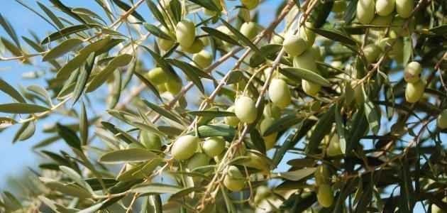 طريقة زراعة الزيتون .. تعرف علي طريقة زراعة الزيتون بطريقة الشتلات والعقل الخشبية