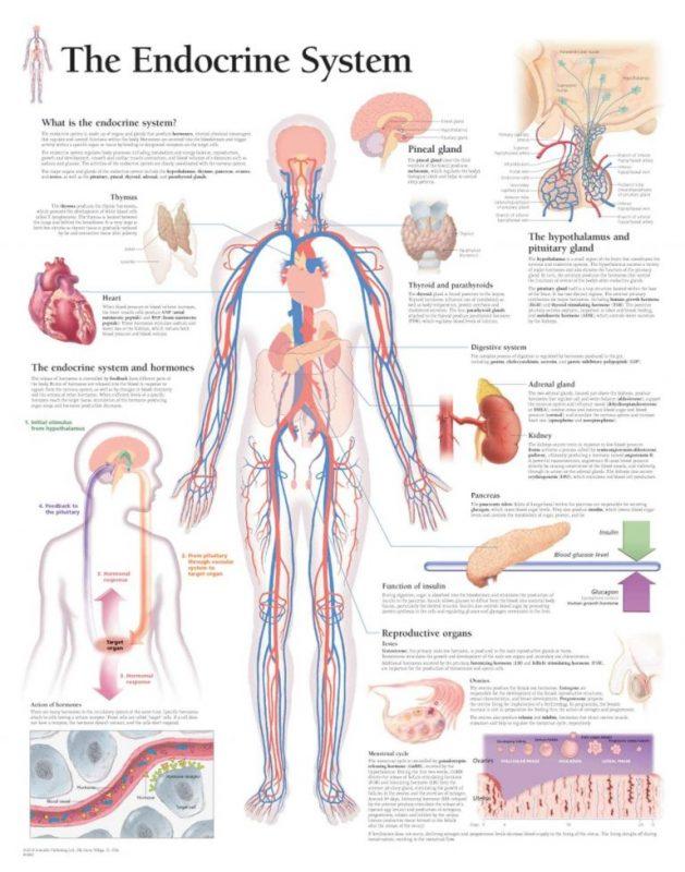 وظائف الغدد الصماء… دليلك الكامل للتعرف على كل ما يخص الغدد الصماء