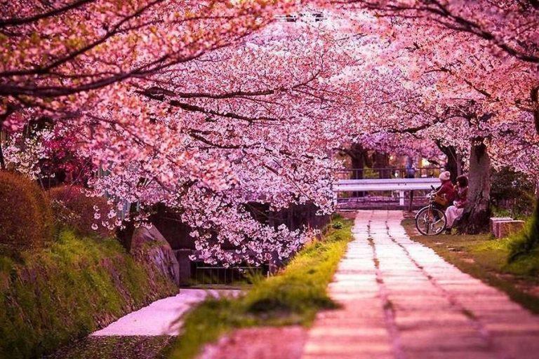 شجرة الكرز اليابانية