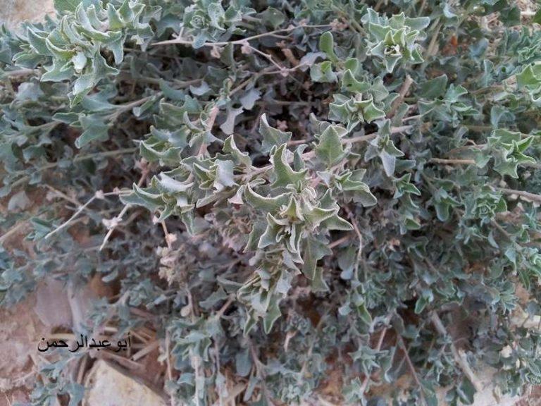 معلومات عن نبات الرغل …. تعرف على فوائد نبات الرغل واماكن استخدامه