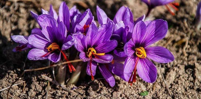 معلومات عن نبات الزعفران …. تعرف علي كيفية زراعته واهم استخداماته