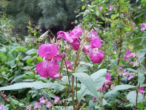 معلومات عن نبات عصا الراعي … تعرف على النبتة المعمرة ذات الفوائد العلاجية المذهلة