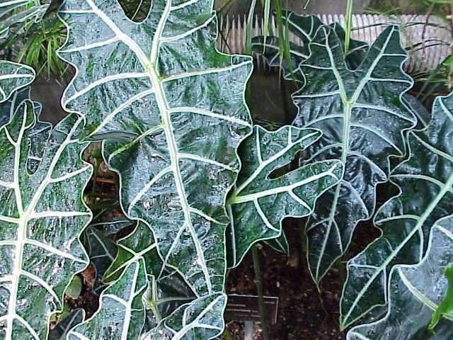 معلومات عن نبات الوكاسيا … انواع نبات الوكاسيا وارشادات للعناية به
