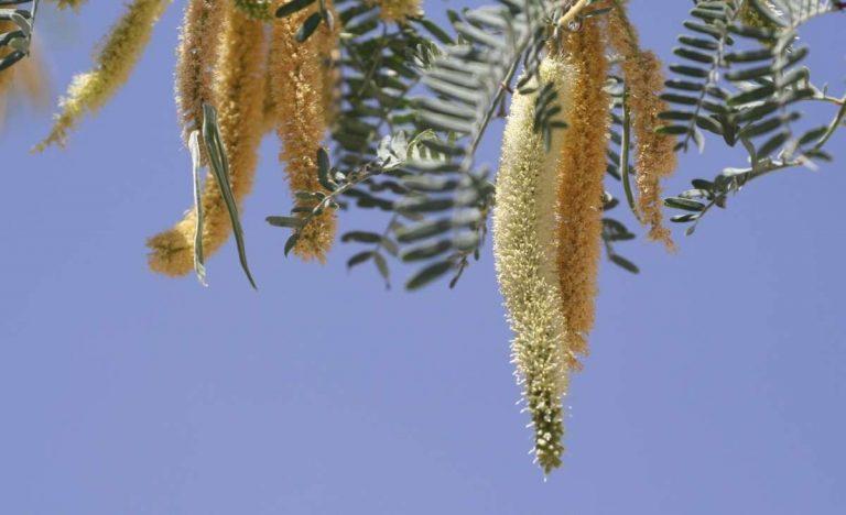معلومات عن شجرة المسكيت